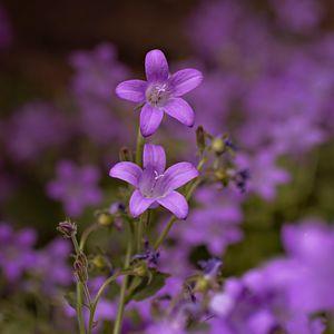 Campanula - Blossoms
