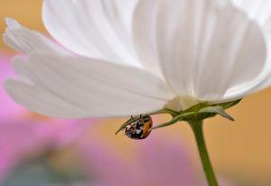 Ladybug on Cosmos - Blossoms
