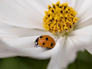 Ladybug - Blossoms