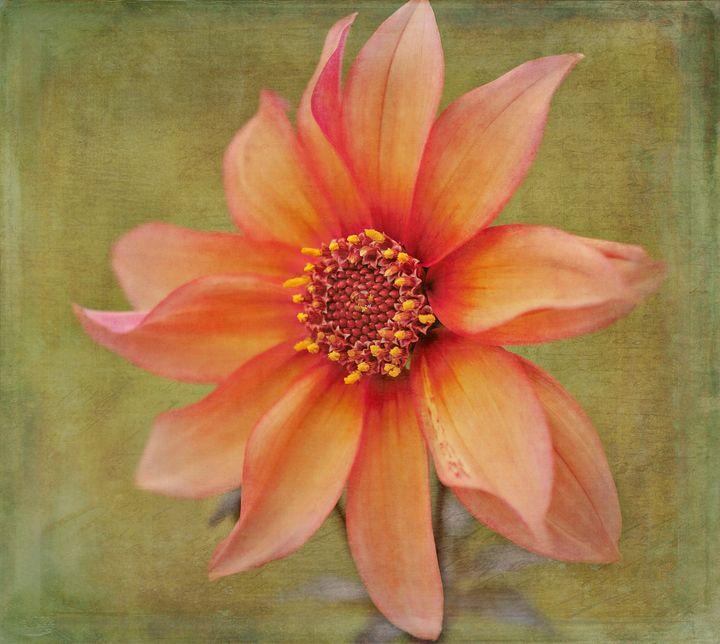 Dahlia - Blossoms