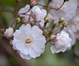 Rosa 'Margaret Merril - Blossoms