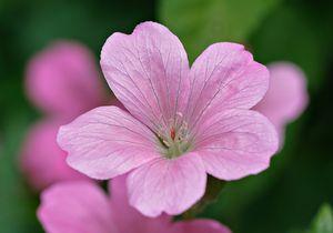 Hardy Geranium - Blossoms