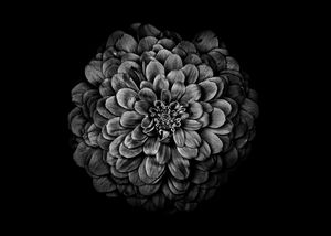 Black And White Flowers 54 - The Learning Curve Photography