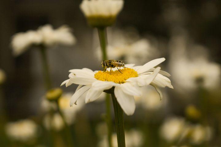 Bee On The Daisy - Ivan's Photography
