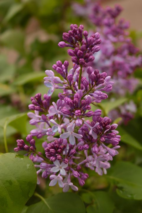 Lovely Lilac - Ivan's Photography