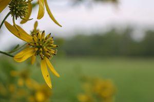 Flower In Pasture