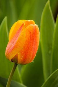 Tulip And Dew