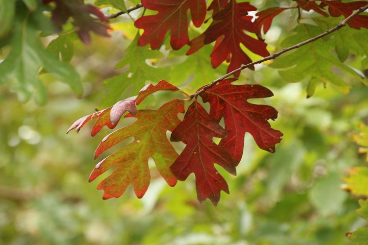 Red Oak Leaves In Fall - Ivan's Photography