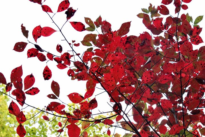 Red leaves - Photography