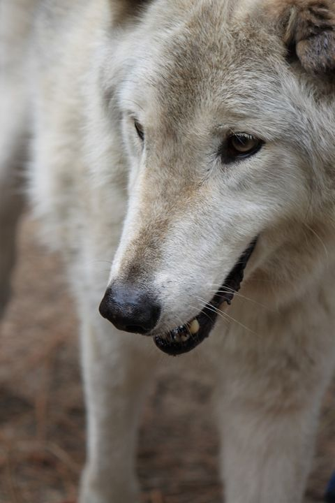 Wolf - Photography
