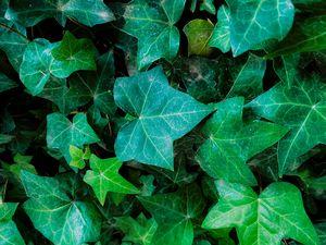 Closeup green ivy leaves garden
