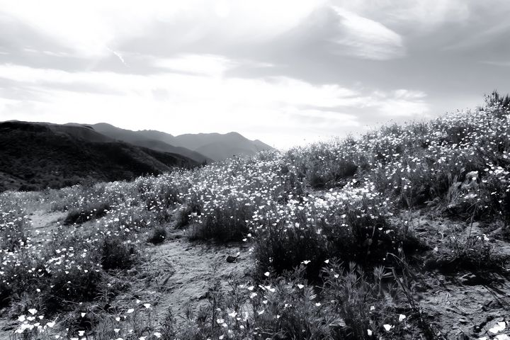 flower field in California, USA - TimmyLA