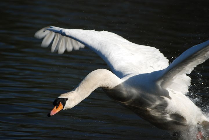 Swan Attack - Doug Thwaites Photography