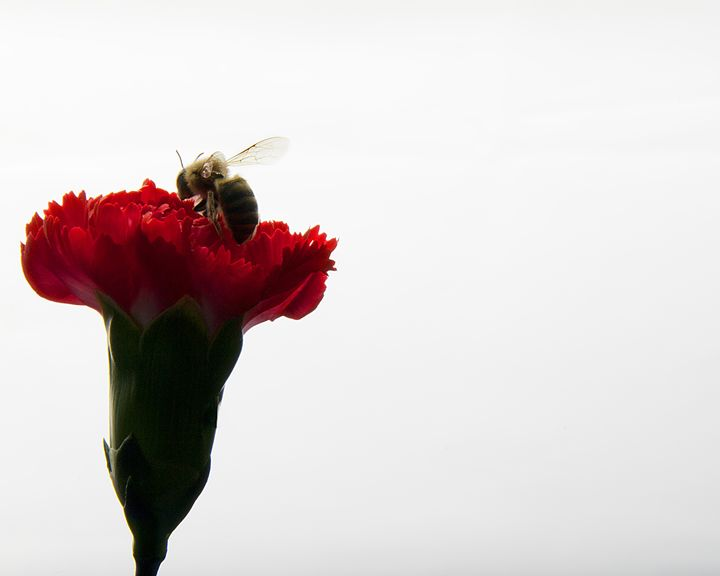 The Bee and the Carnation - Faith K Lefever