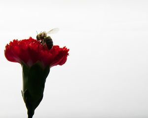The Bee and the Carnation