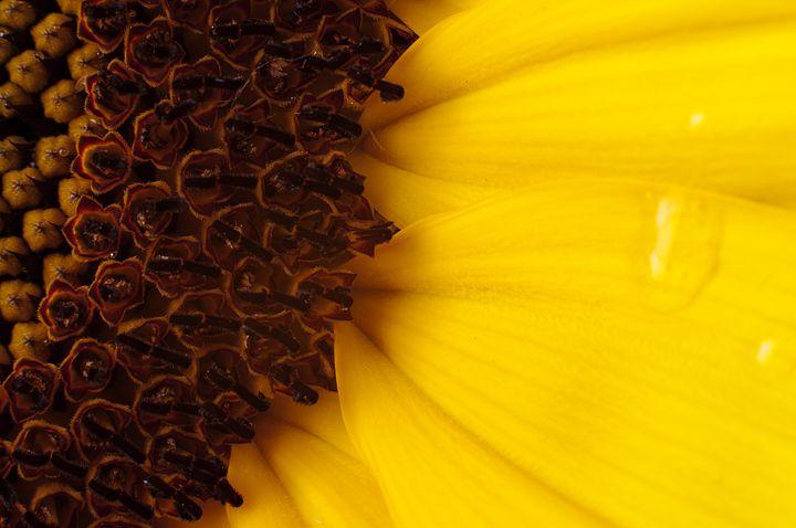 Sun Flower - Faith K Lefever