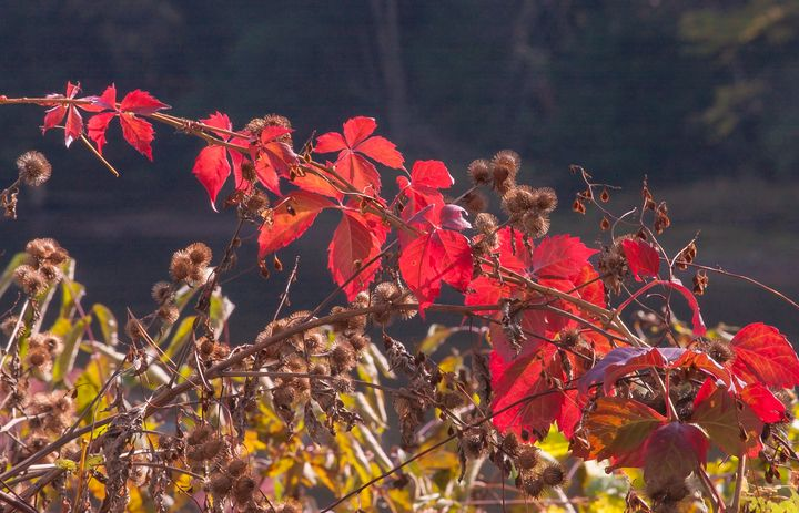 Red Leaves and Burrs - StephenJSepan