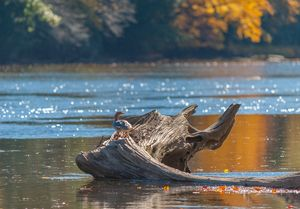 Duck on a Log No1 (D700)