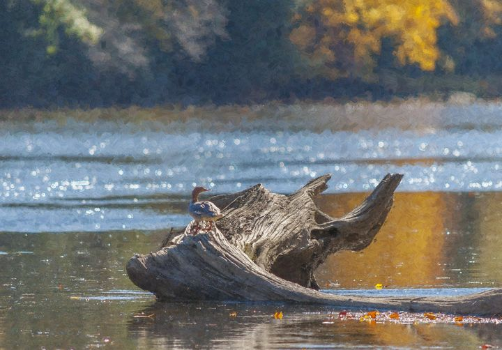 Duck on a Log No1 (OP) - StephenJSepan