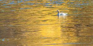 Duck in Golden Reflection (D700)