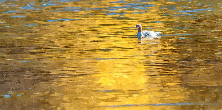 Duck in Golden Reflection (WC) - StephenJSepan