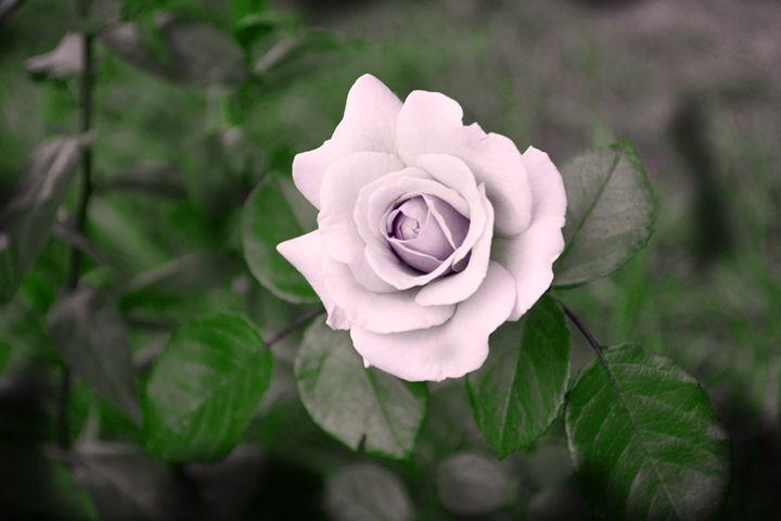 La rose - Iren Darque