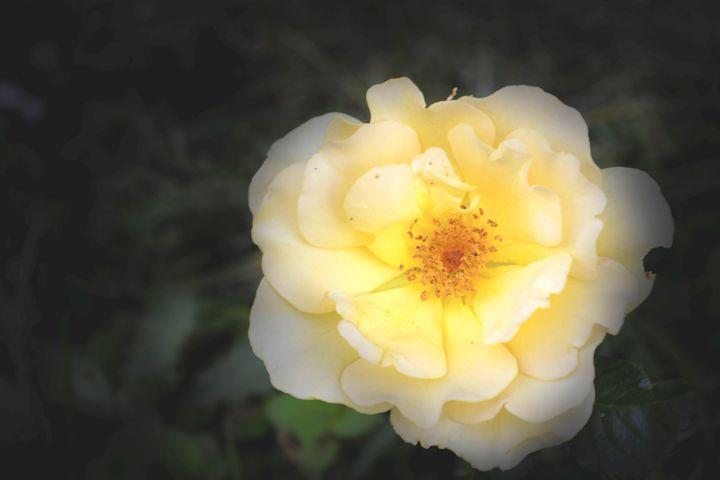 Rose - Iren Darque