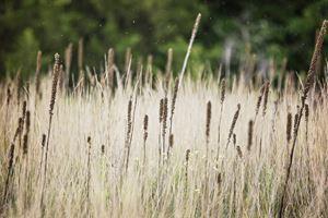 Field of Mullein