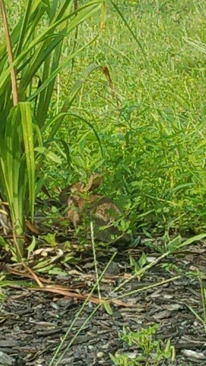 Baby Bunny hiding in grass - Dark Beauty