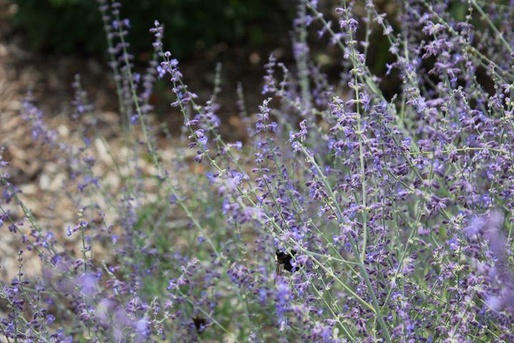 Bees Love The Lavender - Joyce Lapp