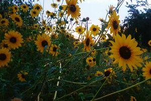 Van Gogh's summer