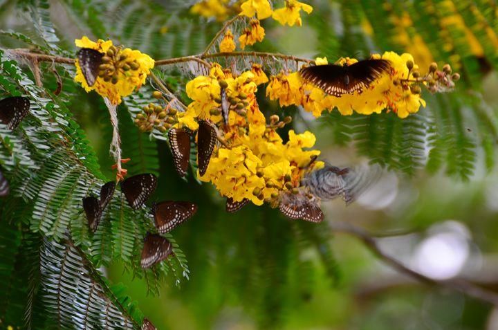Migrating Butterflies - SoumitraChatterjeePhotography