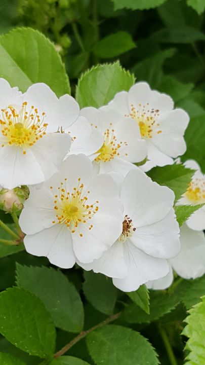 Rosa multiflora - James M. Piehl