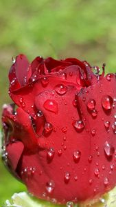 Water drops on a rose