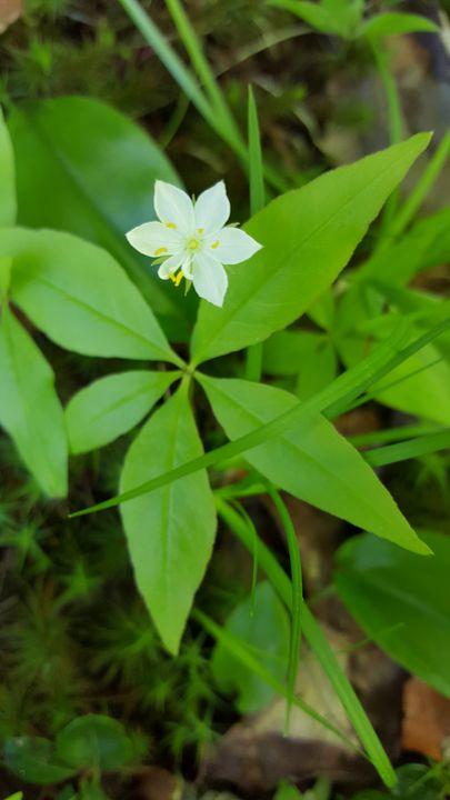 The starflower (Trientalis borealis) - James M. Piehl
