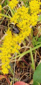 Bee on Elliott's Goldenrod