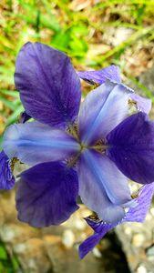 Iris: Blue Flag