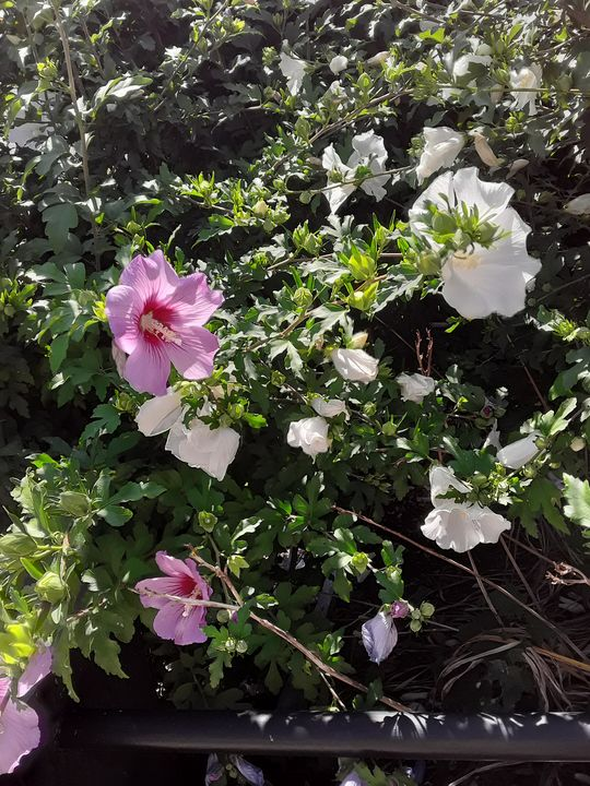 Mixed Rose of Sharon - Gail Cavanaugh Art