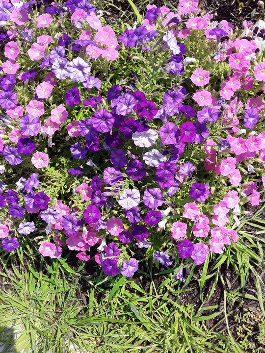Pink and Purple Petunias - Gail Cavanaugh Art