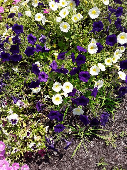 Purple and White Petunias - Gail Cavanaugh Art