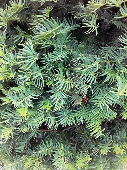 Spruce Tree Branches - Gail Cavanaugh Art