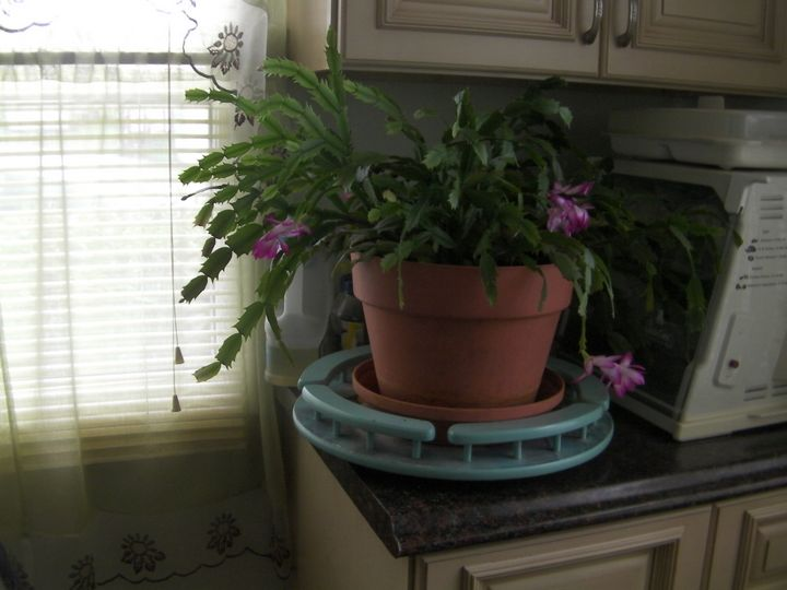 Purple Christmas Cactus on Counter - Gail Cavanaugh Art