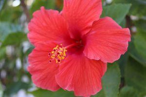 A Hibiscus rosa-sinensis