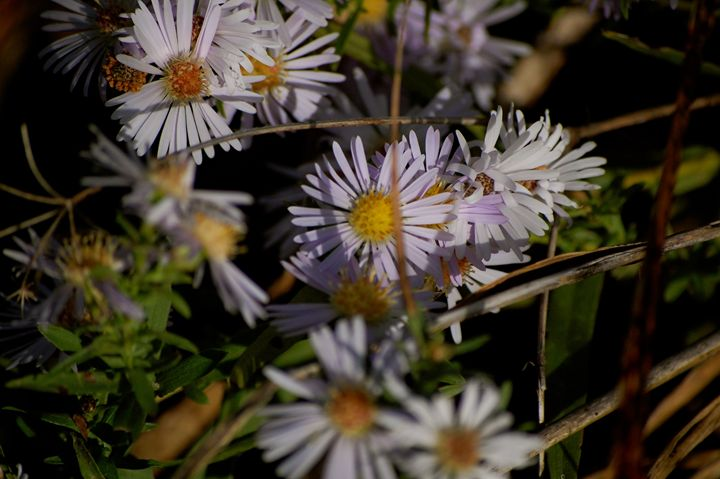 Daisies behind the Mess - Big Daddy H Photo