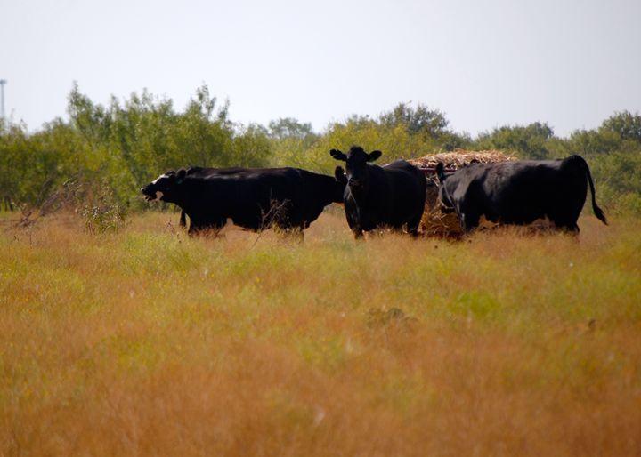 Wild Herd - Big Daddy H Photo