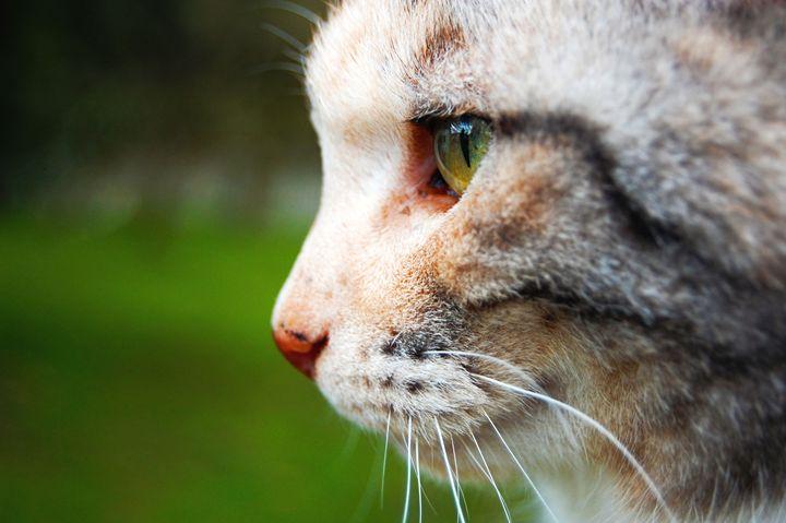 Calico Cat - Brittany Megis Photography