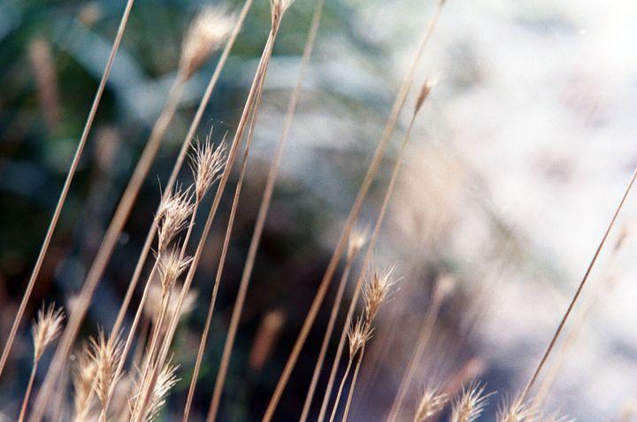 Beach Grass - Brittany Megis Photography