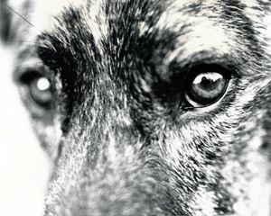 Dog Analog