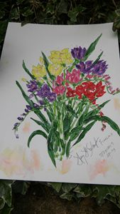 Freesias Multicolored