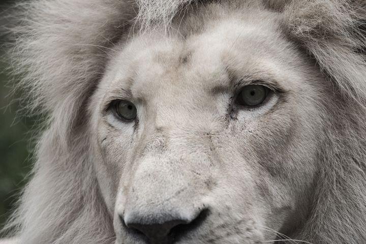 Lion -  Richard.ernst49